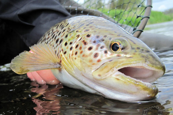 A bonnie Scottish Brown Trout caught and released on a Barrio GT125 fly line