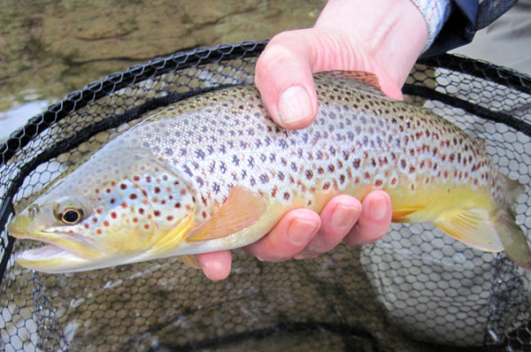 A bonnie Scottish Brown Trout caught and released on a Barrio GT90 fly line